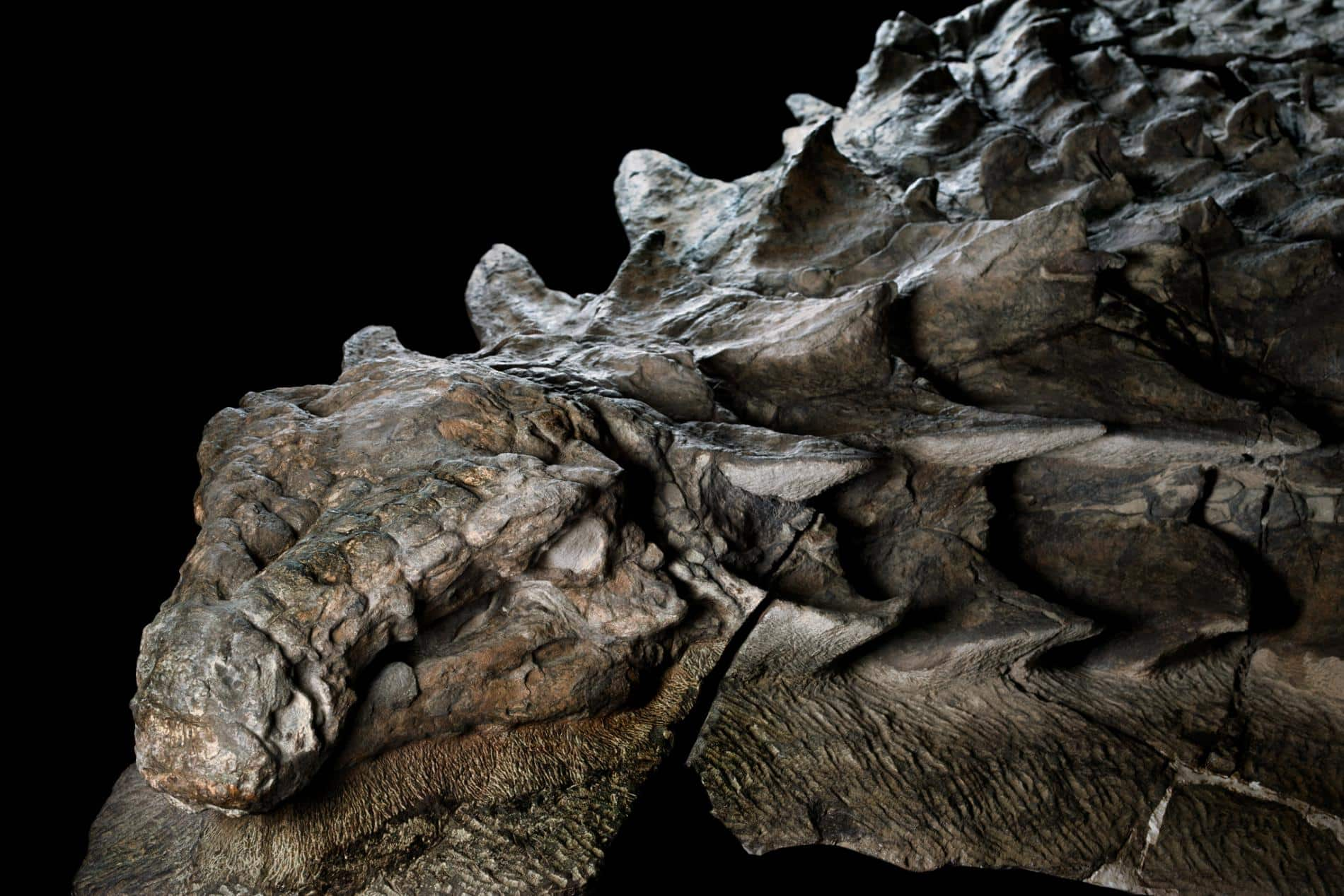 nodosaur-fossil-canadian-mine-face.adapt_.1900.1